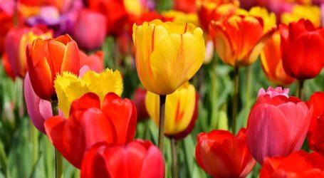 Tulipani Italiani 2020: l'energia del colore della natura