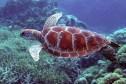 Een soepschildpad op het Great Barrier Reef.