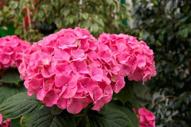 hortênsia rosa