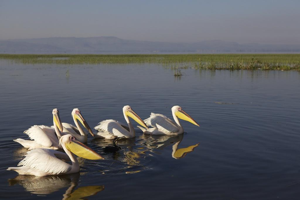 Pelicans on Lake Hawassa, Ethiopia.