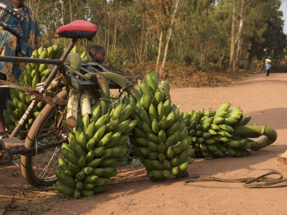 Bananas being loaded on to the back of a bicycle, Africa