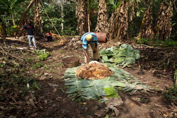 A farmer spreading out cocoa beans to dry on a banana leaf, Ghana