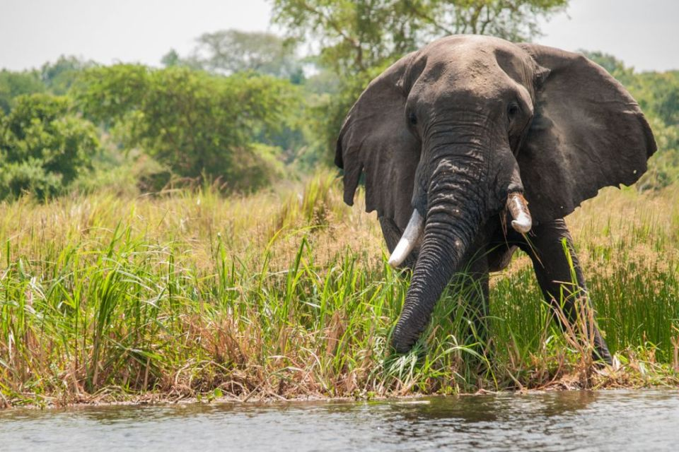 An African elephant on the river bank of the Nile
