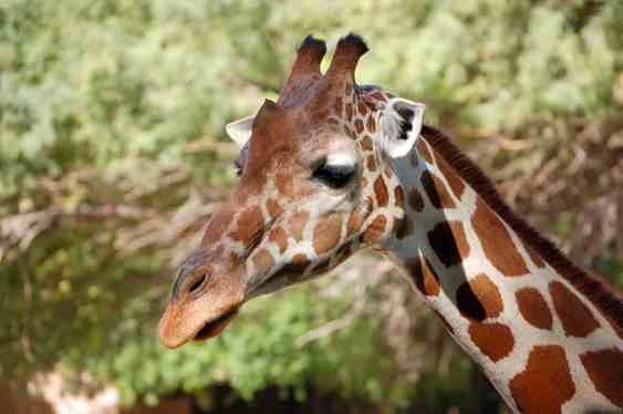 Denver-zoo-giraffe