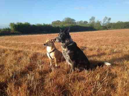 Iggy & Poppy on brown field