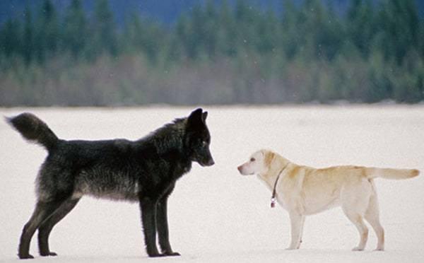 Från varg till hund