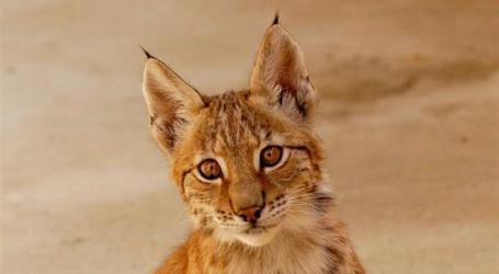 População do lince-ibérico superará 500 animais este ano