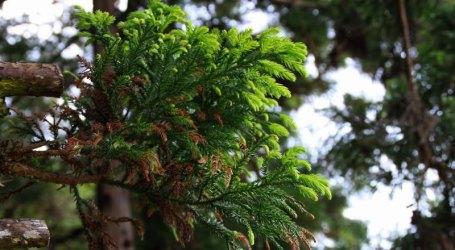 Árvores de Natal da floresta açoriana