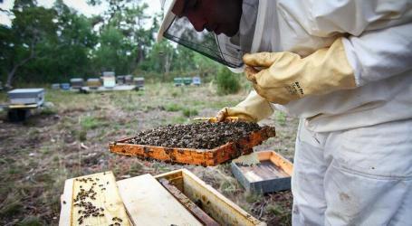 Produção de mel cai 15% por causa da vespa asiática