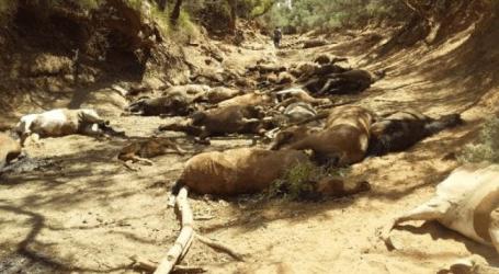 Imagens chocantes mostram 40 cavalos mortos à sede na Austrália