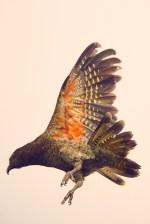 Kea, Papagei, Flug, fliegen, Flügelschlag, Milford Sound, Neuseeland, New Zealand, farbiges Gefieder, Flügel