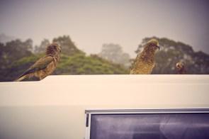 Drei, Keas, Kea, Papagei, Neuseeland, New Zealand, don't feed, nicht füttern, Fjordland Nationalpark, Milford Sound, frech