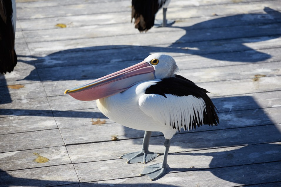 Pelikan, Kangaroo Island, Fütterung, füttern, fuettern, Pelikane, lustig, funny, fun, Kingscote