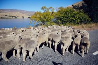 Schafe, Schafherde, Sheeps, Lake Waitaki