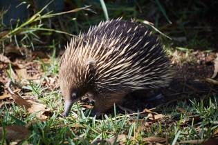 Echidna, Ameisenigel, Australien, Igel, in freier Wildbahn, Tier, Tiere, Urlaub, Roadtrip, Ostküste, Raymond Island, Kangaroo Island