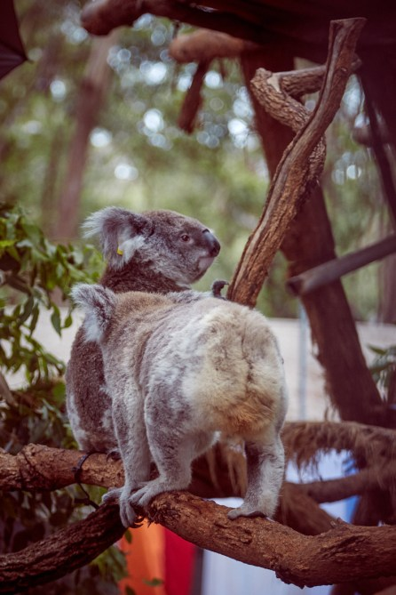 Port Macquarie, Koala Hospital, Koalas, Gehege, Australien, Urlaub, Reise, reisen, anschauen