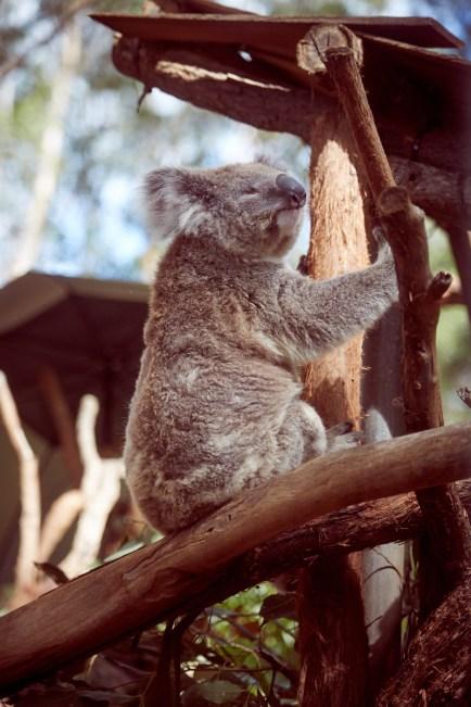 blinder, blind, Koala, Hospital, Port Macquarie, Koalabär, krank