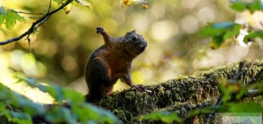 grüßendes Eichhörnchen