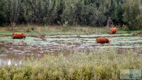 Im Wasser grasende Kühe