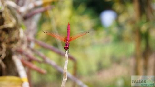 rote Libelle - Orchideengarten (Taman Orkid)