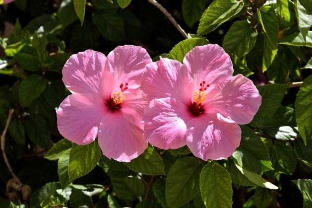 Ebegümeci.  Bahçe ve dış mekan için dayanıklı bitki.  #Bahçe #Bitkiler #Dekorasyon