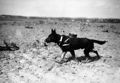 Собака натягивает коммуникативный кабель между участками фронта