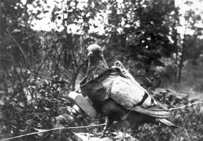 Una colomba con una telecamera attaccata per le ricognizioni