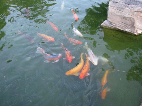 Huge koi fish at shades of green military disney tips blog for Green koi fish
