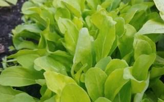 easy crops for beginner gardeners arugula
