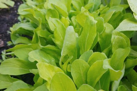 easy crops for beginner gardeners arugula