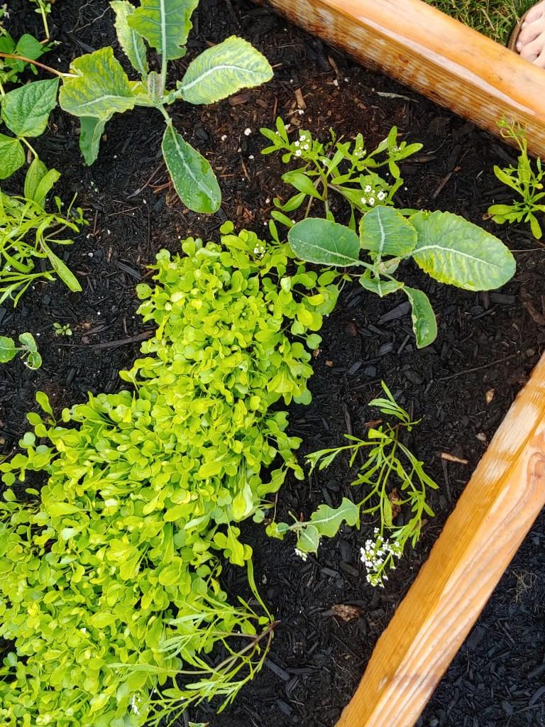 companion planting cauliflower
