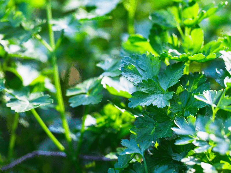 parsley fall garden crop