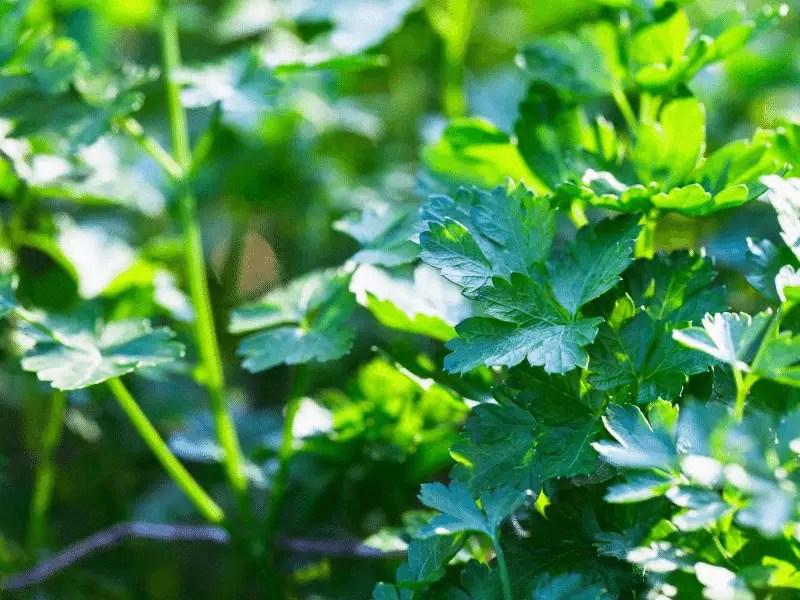 parsley fall garden crop