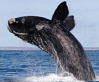 Balena franca boreale