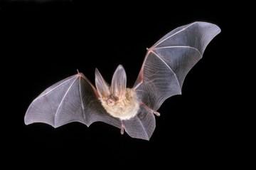 L'ecolocalizzazione dei pipistrelli