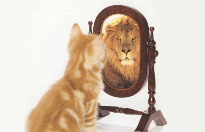 cat looking at reflection of a lion in the mirror
