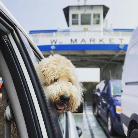 Dog enjoying the Miller Ferry ride