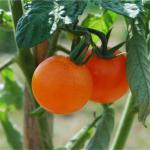 Tomate Orange de Bourgois, graines bio / semences bio
