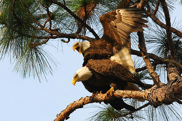 Swfl Eagle Cam New Iphone App Brings Harriet To Your Device