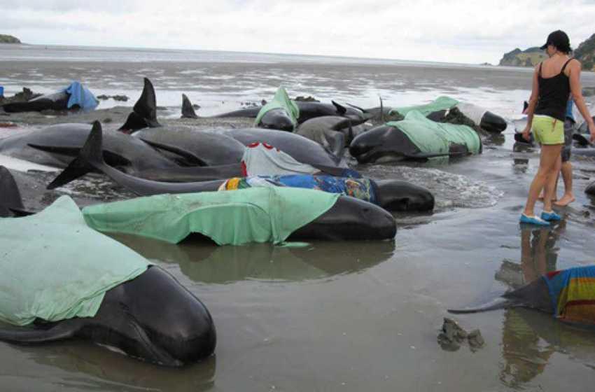 Insólito caso: centenar de ballenas piloto mueren, al ser varadas por el mar