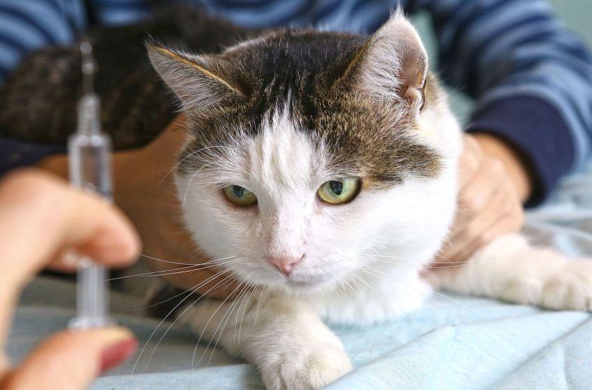Detectan extraño virus en  gato: El Lyssavirus ¿qué es y cómo se transmite este virus?