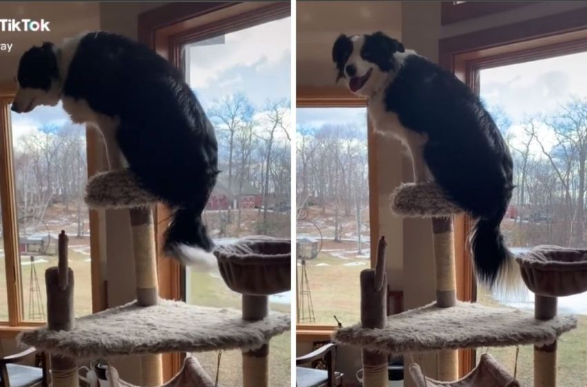 """Perrito se adueña del """"posador"""" del gato de la casa y se hace viral"""
