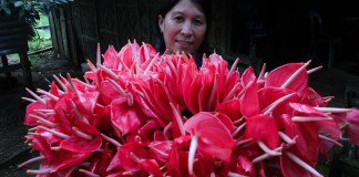 GOOD HARVEST. Evelyn Lim shows her harvest of anthurium flowers which is being sold for 40 pesos per dozen at a buying station in Barangay Batasan, Makilala, North Cotabato in this photo taken on October 28, 2015.