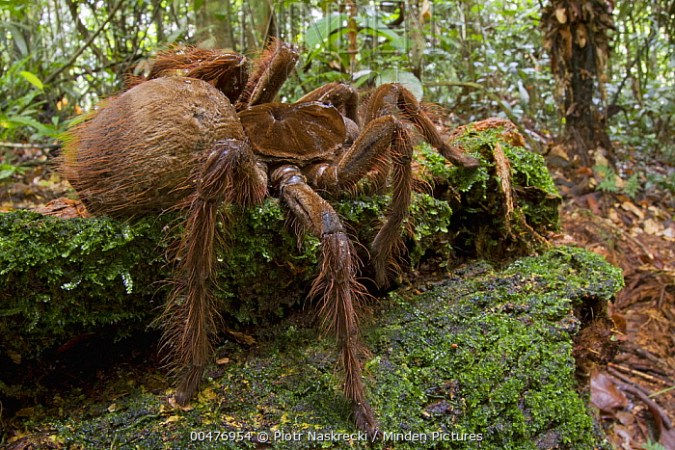 Minden Pictures stock photos   Goliath Bird eating Spider     Goliath Bird eating Spider  Theraphosa blondi   Surinam   Piotr Naskrecki