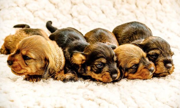 Hertfordshire pups