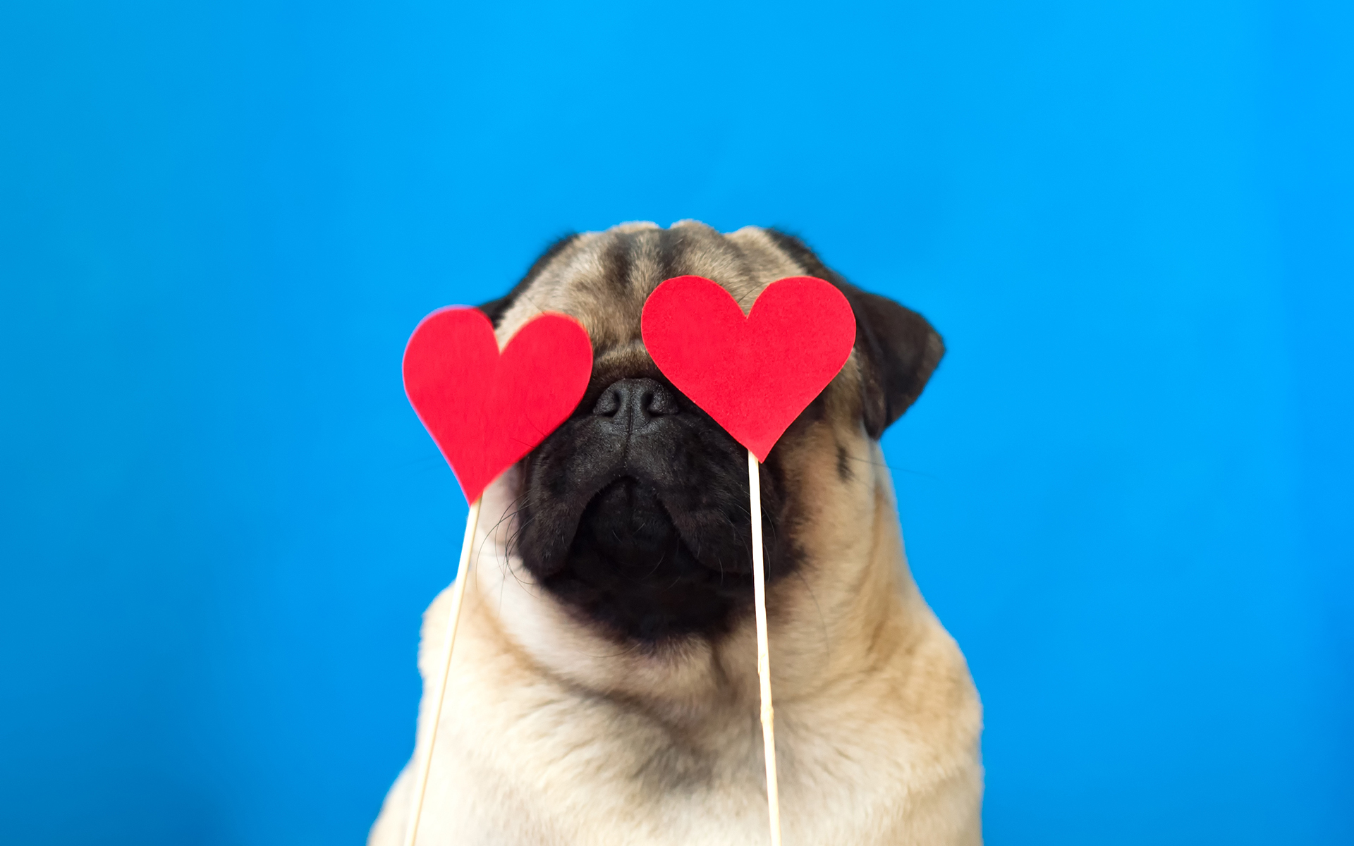 Good News: Our Emotions Aren't Set in Stone - Cute dog pug wearing red paper hearts on eyes. Strong love concept