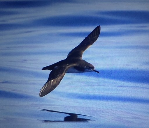 September: Manx Shearwater in Flight.