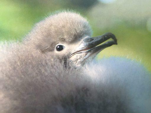 September: Manx Shearwater Chick.