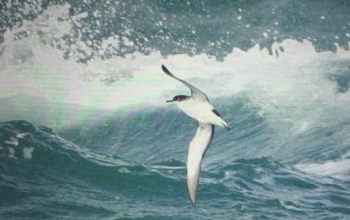 September: Manx Shearwater in full flight.