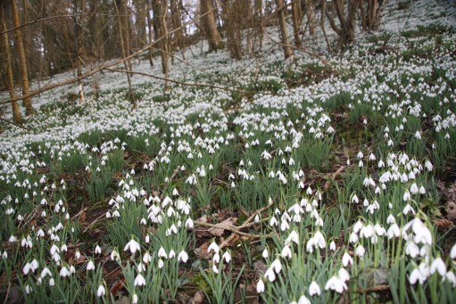 Snowdrops. Carpet of snowdrops at Cherington Lake.